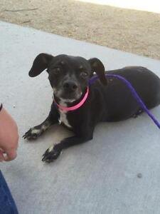 "Adult Female Dog - Dachshund-Chihuahua: ""Naomi"""