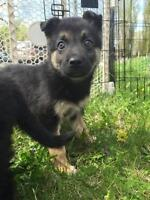 "Baby Female Dog - German Shepherd Dog: ""Carol"""