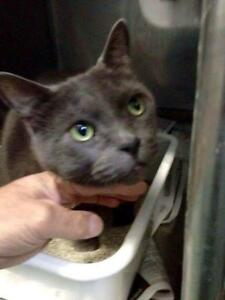 Young Female  - Russian Blue-Domestic Short Hair