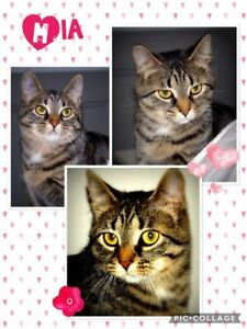 "Young Female Cat - Domestic Short Hair: ""Mia"""