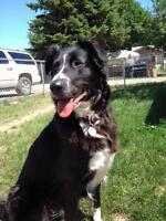 """Adult Female Dog - Border Collie-Great Pyrenees: """"Kate"""""""