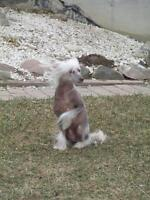 "Adult Male Dog - Chinese Crested Dog: ""Ozzie"""