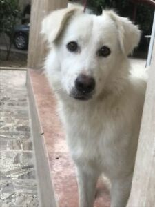 "Young Male Dog - American Eskimo Dog: ""Denman"""
