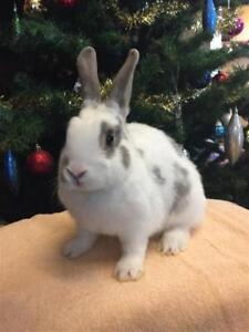 "Baby Male Rabbit - American: ""Simon"""