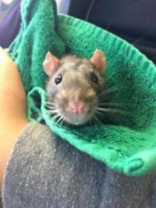 "Young Male Small & Furry - Rat: ""Bob"""