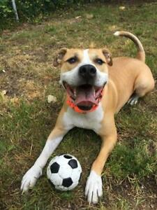 """Adult Male Dog - American Staffordshire Terrier: """"Nerf"""""""