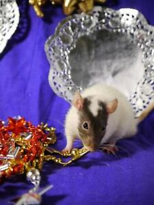 "Young Male Small & Furry - Rat: ""Rush"""