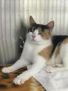 "Adult Female Cat - Domestic Short Hair: ""Cheerio"""
