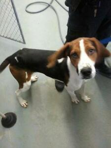 """Adult Male Dog - Coonhound-Hound: """"Riley: Foster Home needed"""""""