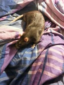 "Adult Male Small & Furry - Rat: ""Serge"""