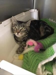 """Young Male Cat - Domestic Short Hair: """"Stripes(in Rehab)"""""""