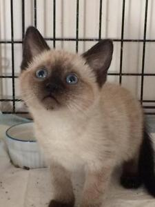 "Baby Female Cat - Siamese-Domestic Short Hair: ""Clara"""