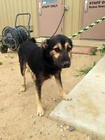 "Young Male Dog - German Shepherd Dog: ""Barron"""