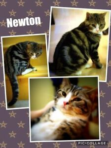 """Young Male Cat - Domestic Short Hair: """"Newton"""""""