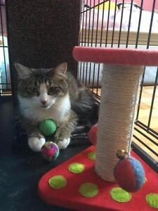 Young Female  - Domestic Medium Hair - gray and white
