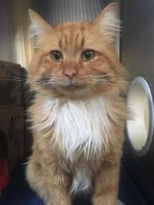 """Adult Male Cat - Domestic Long Hair: """"Wallace"""""""
