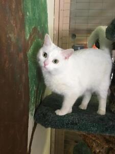 "Young Female Cat - Domestic Short Hair: ""Ilsa"""