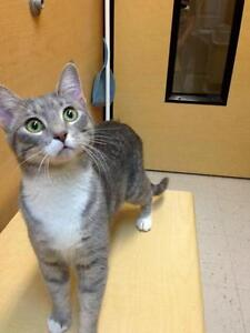 "Young Female Cat - Domestic Short Hair-Tabby: ""Lysette"""