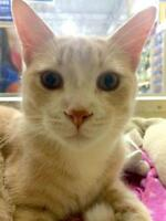 "Young Male Cat - Domestic Short Hair: ""Richard Parker"""
