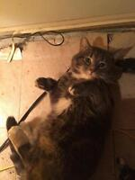 """Adult Male Cat - Tabby - Grey: """"Cailean"""""""