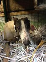 "Adult Male Dog - Greyhound: ""Hi Appache"""