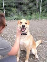 "Adult Female Dog - Golden Retriever-Husky: ""Betty"""
