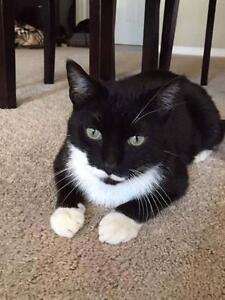 """Adult Male Cat - Domestic Short Hair: """"Pickles Rickles"""""""