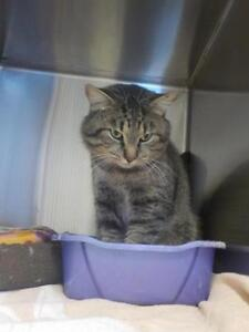"""Adult Female Cat - Domestic Short Hair - gray and white: """"Tommy"""""""
