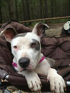 Adult Female  - American Bulldog-Pit Bull Terrier
