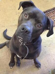 Young Male  - Mastiff-American Staffordshire Terrier