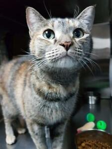 "Adult Female Cat - Domestic Short Hair: ""Ava"""