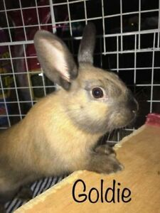 "Baby Male Rabbit - Himalayan: ""Goldie"""