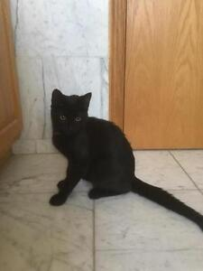 "Young Male Cat - Domestic Short Hair-black: ""Ebony"""