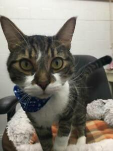 "Adult Male Cat - Domestic Short Hair: ""Eden"""