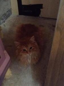 """Young Male Cat - Domestic Long Hair: """"Tyson"""""""