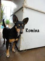 "Adult Female Dog - Miniature Pinscher-Dachshund: ""Romina"""