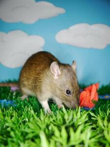 """Young Male Small & Furry - Rat: """"Burgundy"""""""