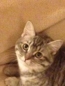 "Young Female Cat - Domestic Medium Hair (Gray & White): ""Sandy"""