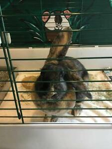 "Young Female Rabbit - American Sable: ""Dorothy"""