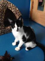 """Baby Male Cat - Domestic Short Hair: """"Zorro"""""""