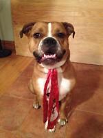 "Young Male Dog - Boxer-English Bulldog: ""Cheeko"""