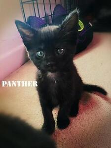 """Baby Female Cat - Domestic Short Hair-black: """"Panther"""""""