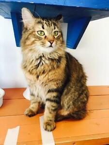 "Adult Male Cat - Maine Coon-Tabby - Brown: ""Brock"""