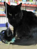 Young Male  - Domestic Long Hair-Domestic Long Hair-black