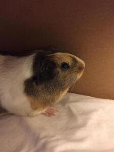 """Adult Female Small & Furry - Guinea Pig: """"Morgan And Madison"""""""