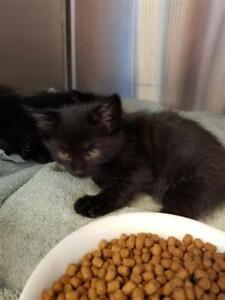 "Baby Male Cat - Domestic Short Hair: ""Pippin"""
