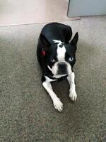 "Adult Male Dog - Boston Terrier: ""Frank"""