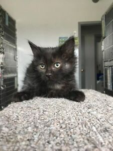 "Baby Female Cat - Domestic Medium Hair: ""Ashley"""