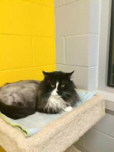 "Adult Male Cat - Domestic Long Hair: ""Bruce"""