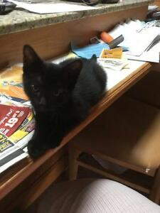 "Baby Male Cat - Domestic Short Hair (Black): ""Roderick"""